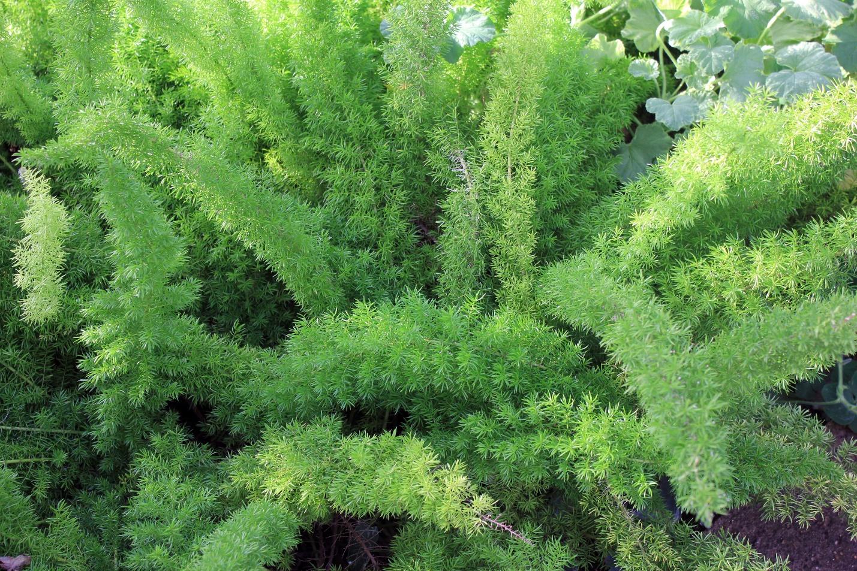 Image result for Asparagus Fern